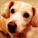buy discount  Nick's Dog Daisy (Beagle Mix)