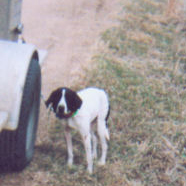 Patch (English Pointer)