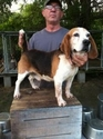 buy discount  Steve M's Dog Spike (Beagle)