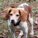 buy discount  Vicky's Dog Ginger (Beagle)