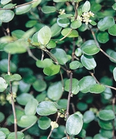 4/Pk. Box - Creeping Wirevine