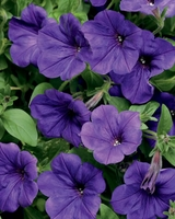 4/Pk. Box - Supertunia Mini Blue