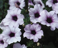 4/Pk. Box - Supertunia Mini Blue Veined