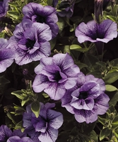 4/Pk. Box - Supertunia Priscilla