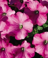 4/Pk. Box - Supertunia Raspberry Blast