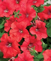 4/Pk. Box - Supertunia Red