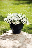 4/Pk. Box - Supertunia White