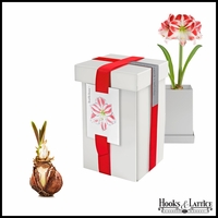 Amaryllis Candy Cane Bulbs in Recycled Steel Gift Box