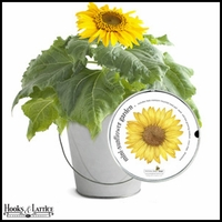 Mini-Sunflower Garden-in-a-Pail