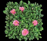 Outdoor Artificial Pink Flowering Azalea Mat- 12in. Squares