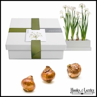 Paperwhite Bulbs in Recycled Steel Gift Box
