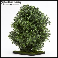 Premium Outdoor Boxwood Shrub 24in.