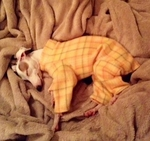 Italian Greyhound Mango Plaid Indoor/Outdoor Bodysuit