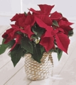 Christmas Flowers Gifts Poinsettia