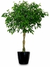 Ficus Benjamina Braid Tree