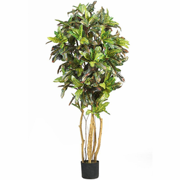 5' Croton Silk Tree