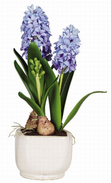 Hyacinth Silk Plant w/Glazed Pot - Click to enlarge