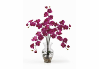 Phalaenopsis Liquid Illusion