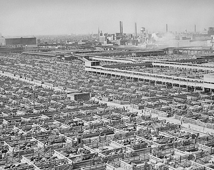 Chicago Livestock Stockyards 1947 Photo Print