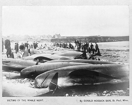 Dead Whales on Beach after Hunt 1900 Photo Print