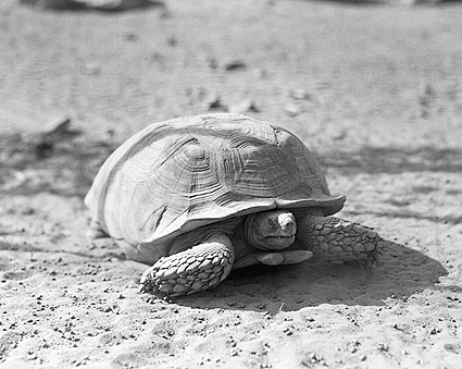 Desert African Spurred Tortoise, Africa 1936 Photo Print