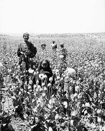 Egyptian Workers in Opium Poppy Field 1900s Photo Print