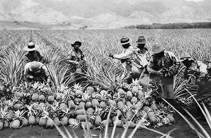 Hawaii Pineapple Plantation Harvest 1910 Photo Print