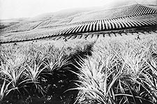 Hawaii Pineapple Plantation & Workers Photo Print for Sale