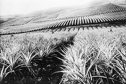 Hawaii Pineapple Plantation & Workers Photo Print