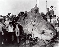 Huge Sun Fish Catalina Island Fishing 1910 Photo Print for Sale