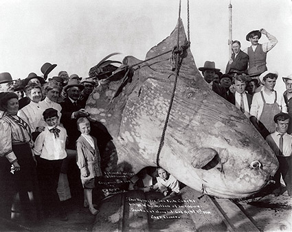 Huge Sun Fish Catalina Island Fishing 1910 Photo Print