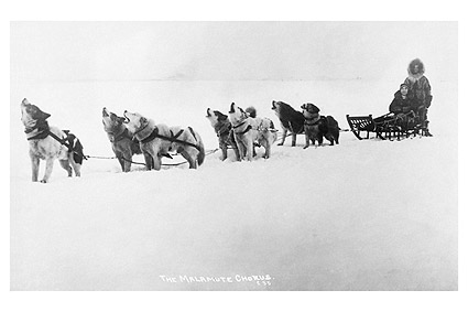 Malamute Chorus Dog Sled Team Alaska Photo Print