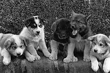 Mixed Breed Dog Sled Puppies 1900s Photo Print for Sale