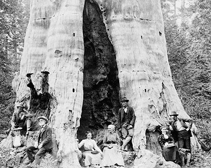Mother of the Forest, Giant Sequoia Tree Photo Print