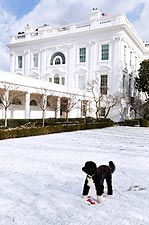 Obama Family Dog Bo in Rose Garden Snow Photo Print for Sale
