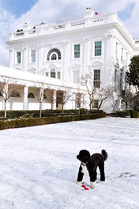 Obama Family Dog Bo in Rose Garden Snow Photo Print