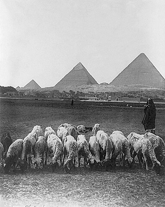 Pyramids & Plains in Egypt w/ Sheep 1900 Photo Print