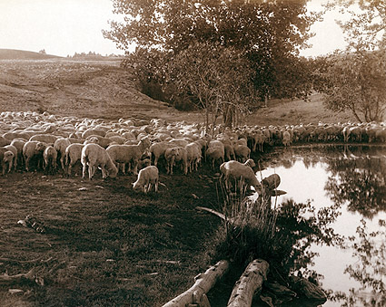 South Dakota Sheep Flock Old West 1891 Photo Print