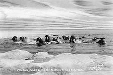 Walrus & Bering Sea Northwest Alaska Photo Print for Sale
