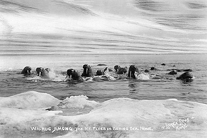 Walrus & Bering Sea Northwest Alaska Photo Print