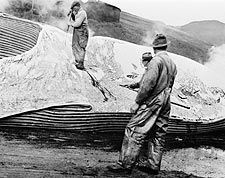 Whalers Removing Whale Blubber 1930s Photo Print for Sale