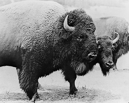 Wild Buffalo on the Plains Photo Print