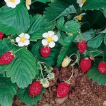 Alpine Strawberry Seeds (<i>Fragaria vesca</i>)