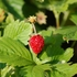 Alpine Strawberry Seeds (Fragaria vesca)