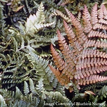 Autumn Fern (<i>Dryopteris erythrosora</i>)