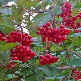 Bare Root Cranberry Bush (<i>Viburnum trilobum</i>)