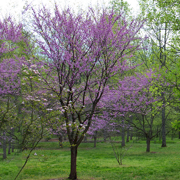 Bare Root Eastern Redbud Cercis Canadensis