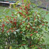 Bare Root Winterberry Holly (female) (<i>Ilex verticillata</i> 'Winter Red')