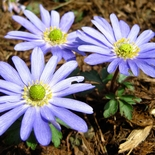 �Blue Shades� Windflower (<i>Anemone blanda cv.</i>)