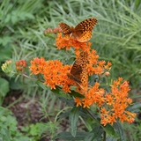 Butterfly Weed (<i>Asclepias tuberosa</i>)